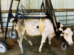 cow-in-cow-crane-side-view